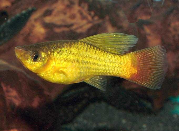 Platies are easy fish aquarium for Easy pet fish