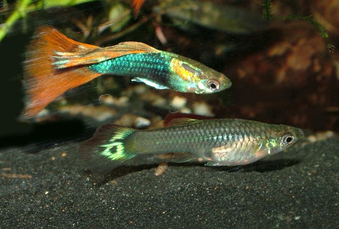 starting with guppies fish aquarium